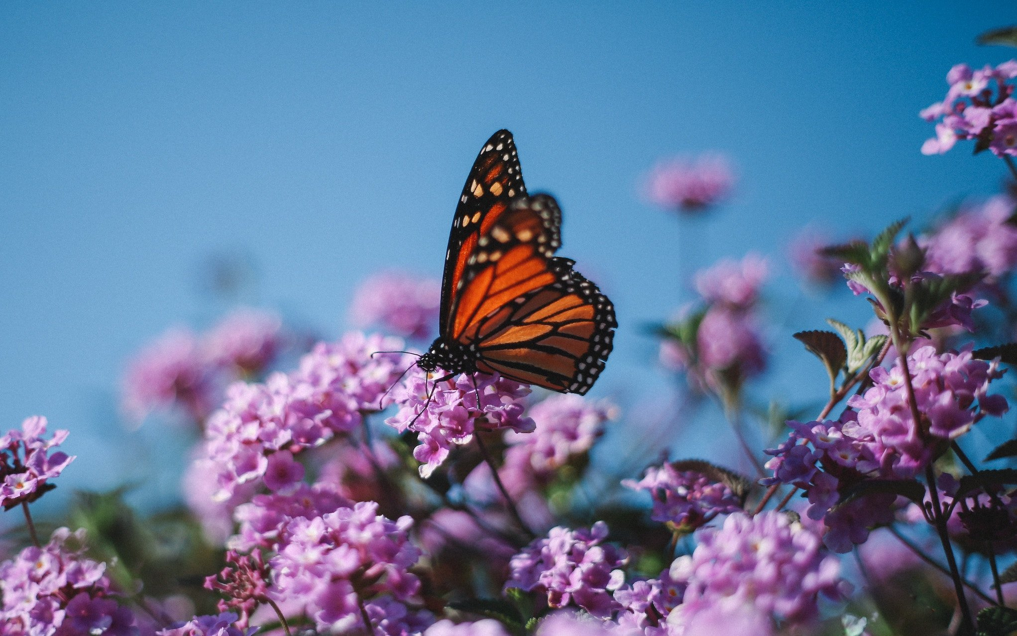 Environmentalists won a lawsuit forcing the federal government to decide by 2019 whether or not to list the once abundant Monarch butterfly as an endangered species. #endangered #wildlife #environment #species #monarch #butterfly