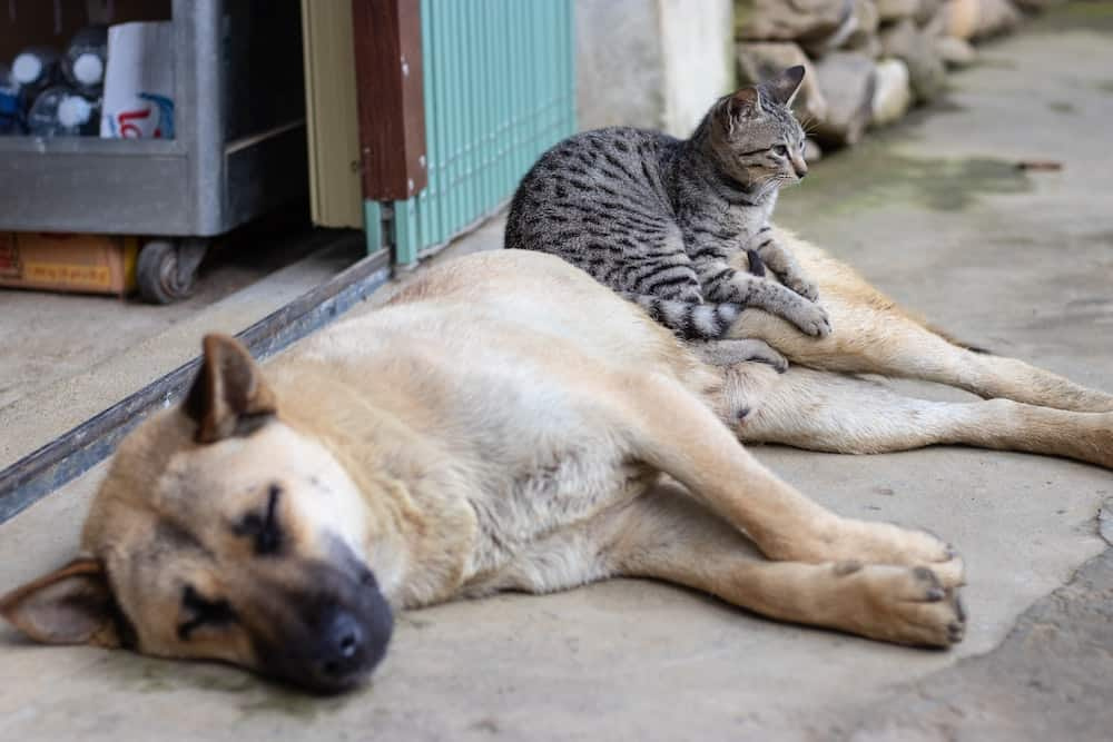 Can Pets Get Sick from the Coronavirus?