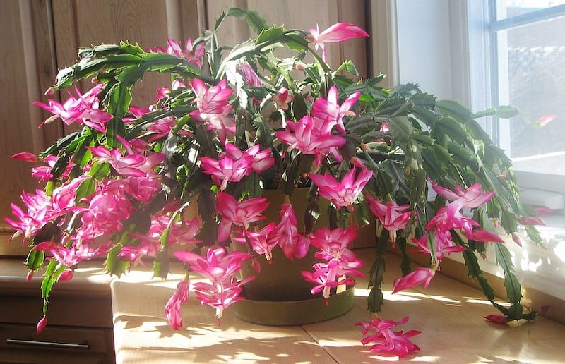 The Christmas Cactus is safe for cats