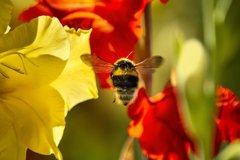 American bumblebee population numbers have fallen by 89% over the last two decades across the U.S.. Image shows a bumblebee hovering around some yellow and red flowers.