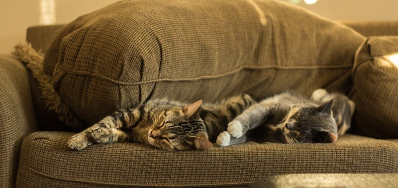 cats sleeping on a couch - multi-pet insurance