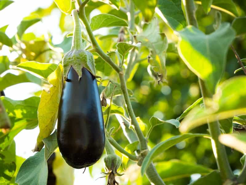 Eggplant fruit hanging from the plant