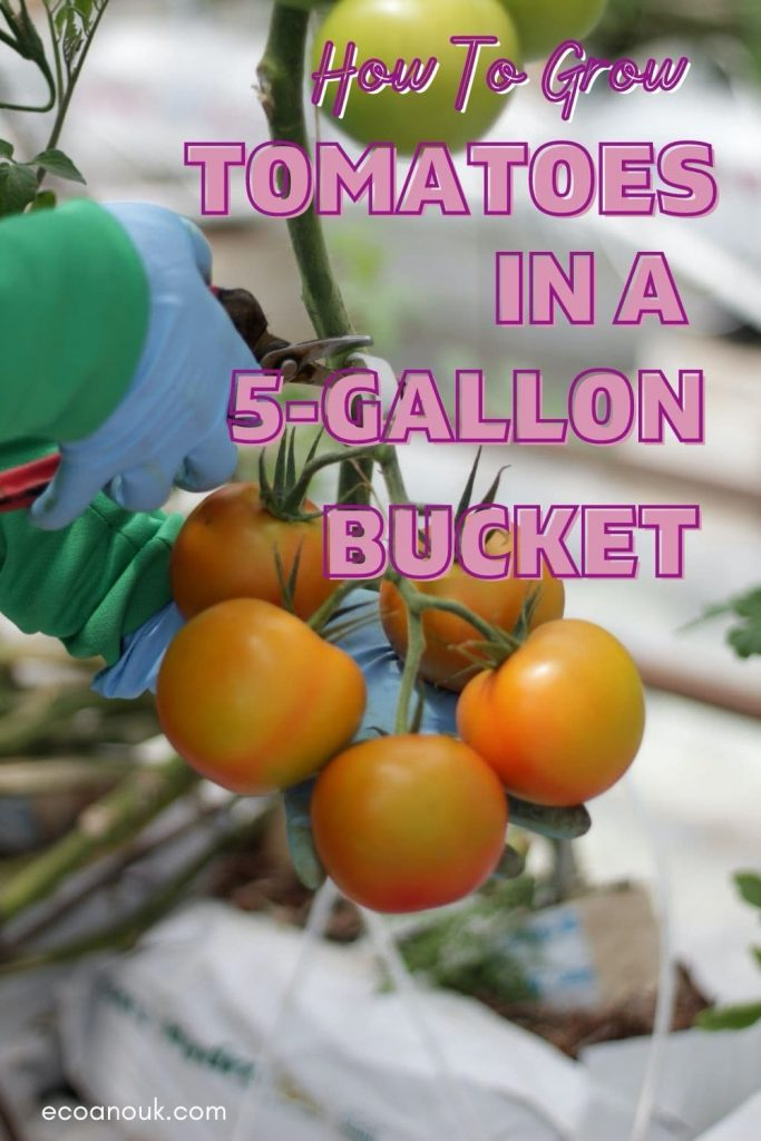 How to Grow Tomatoes in a 5 Gallon Bucket
