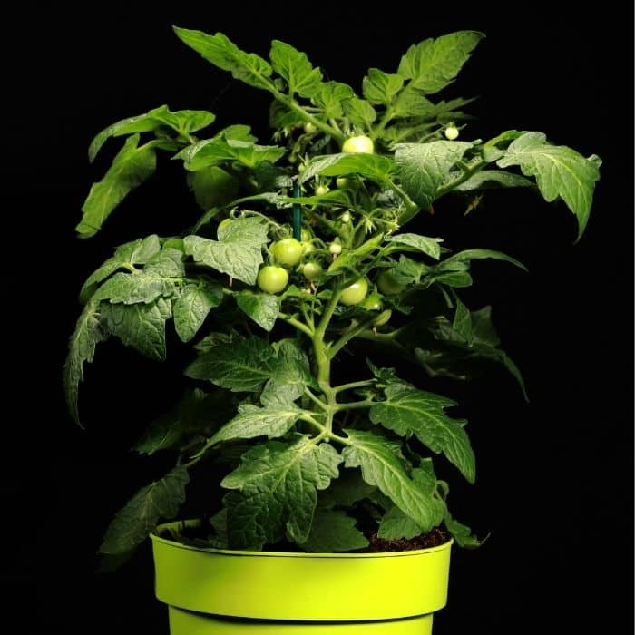 Tomato varieties such as the Sub Arctic Plenty harvest within 45 days